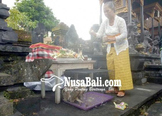 Nusabali.com - diyakini-keramat-sebelum-ditangkarkan-diperciki-tirta