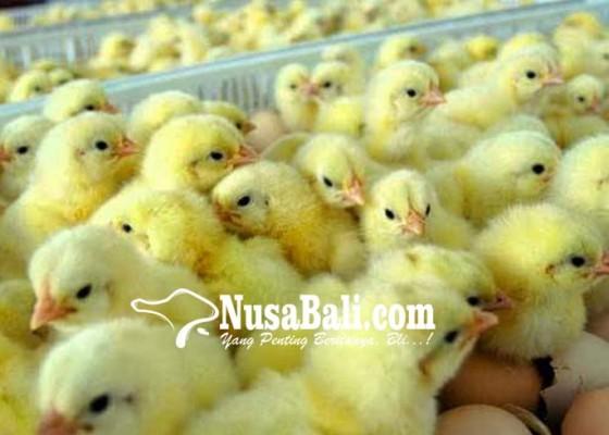 Nusabali.com - dua-kelompok-peternak-dibantu-bibit-ayam-petelur-senilai-rp-39-m