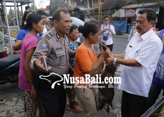 Nusabali.com - pemkab-gelontorkan-60-ekor-bibit-babi