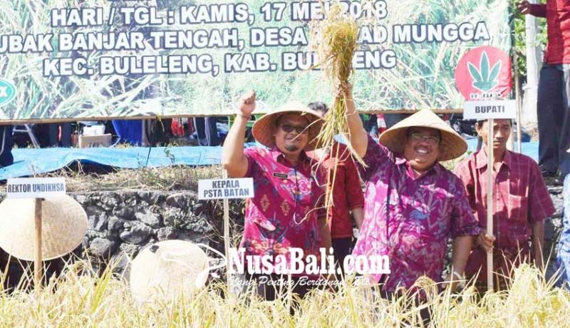 www.nusabali.com-panen-perdana-padi-sidenuk-hasilkan-88-kuintal