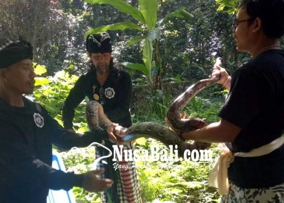Nusabali.com - ular-pyton-hingga-elang-dilepas-di-pura-luhur-besi-kalung