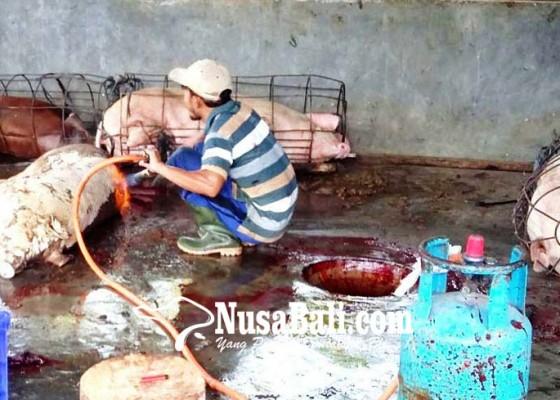 Nusabali.com - pemkab-badung-terjunkan-62-dokter-hewan-dan-110-mahasiswa-periksa-kesehatan-babi