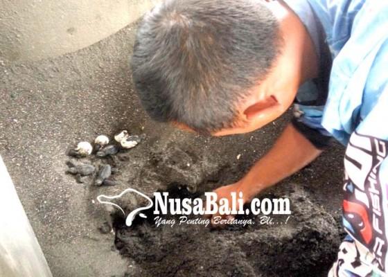 Nusabali.com - puluhan-tukik-menetas-di-pantai-penimbangan