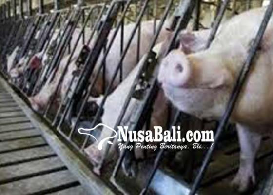 Nusabali.com - desa-adat-kedonganan-siapkan-110-ekor-babi-untuk-galungan
