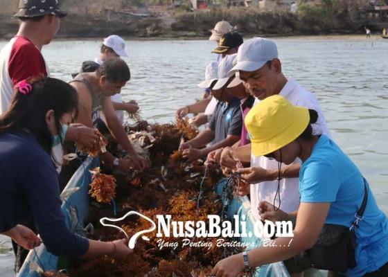 Nusabali.com - dinas-kpp-panen-demplot-rumput-laut