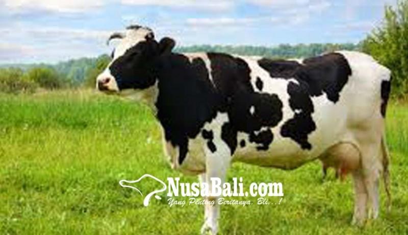 www.nusabali.com-10-ribu-lebih-sapi-bali-diantarpulaukan