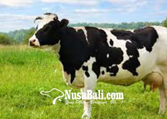 Nusabali.com - 10-ribu-lebih-sapi-bali-diantarpulaukan