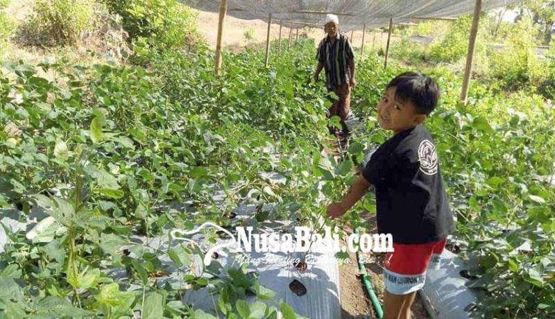 www.nusabali.com-kedelai-di-kubu-kekeringan
