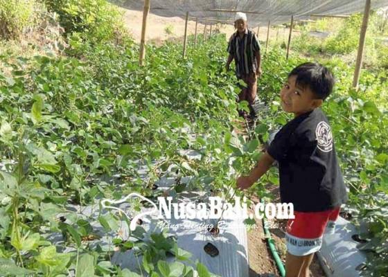 Nusabali.com - kedelai-di-kubu-kekeringan