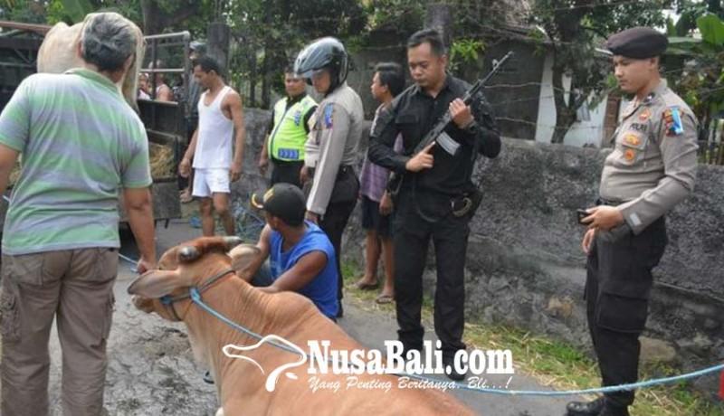 www.nusabali.com-polisi-lumpuhkan-sapi-mengamuk