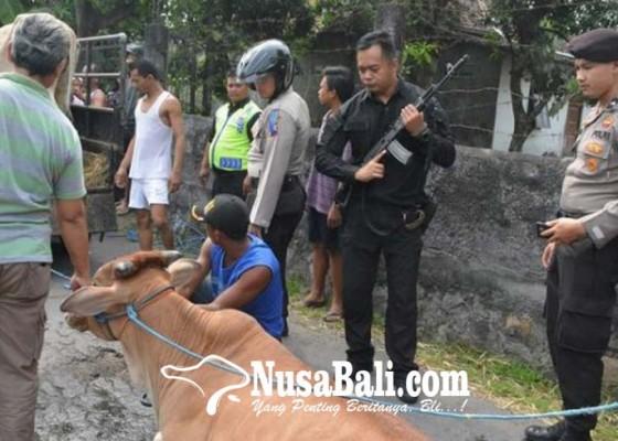 Nusabali.com - polisi-lumpuhkan-sapi-mengamuk