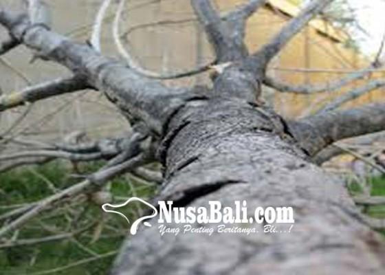 Nusabali.com - pohon-beringin-timpa-bale-banjar