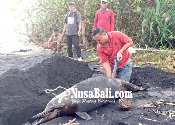 Nusabali.com - bangkai-lumba-lumba-terdampar-di-dekat-setra-desa-pakraman-penyaringan