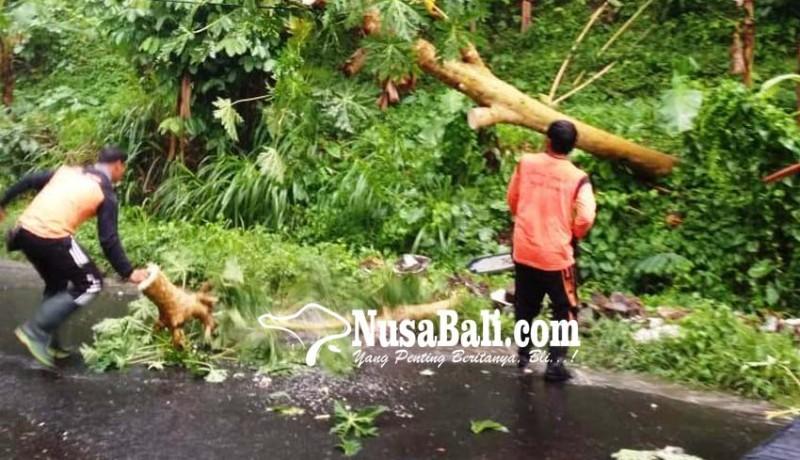 www.nusabali.com-hujan-deras-pohon-tumbang-tutup-setengah-badan-jalan