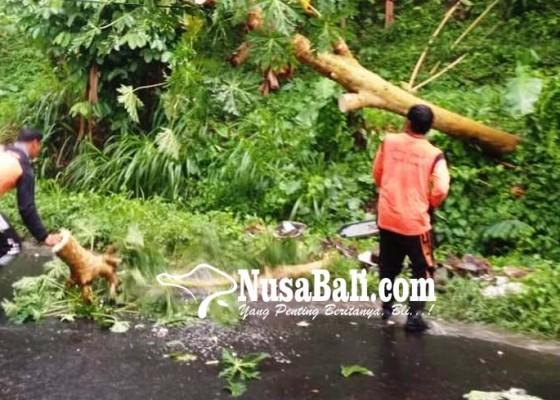 Nusabali.com - hujan-deras-pohon-tumbang-tutup-setengah-badan-jalan