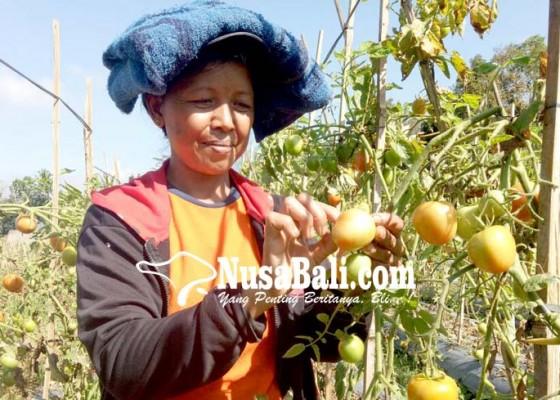 Nusabali.com - panen-bagus-harga-murah-petani-tomat-merugi
