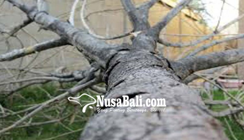 www.nusabali.com-pohon-tumbang-timpa-warung