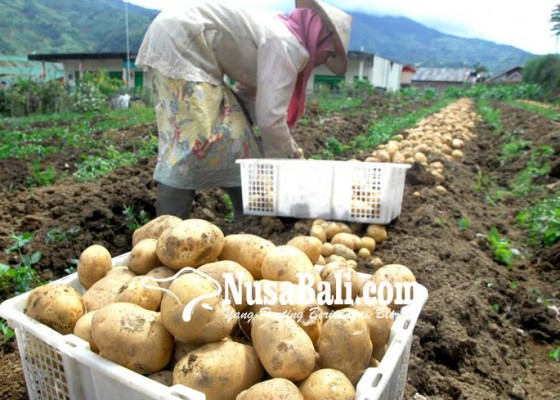 Nusabali.com - terdesak-kentang-impor