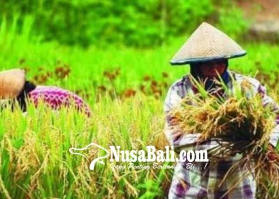 Nusabali.com - desa-pertima-bangun-jalan-usaha-tani