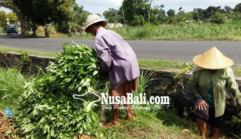 www.nusabali.com-kangkung-darat-makin-menjanjikan