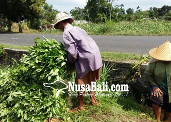 Nusabali.com - kangkung-darat-makin-menjanjikan