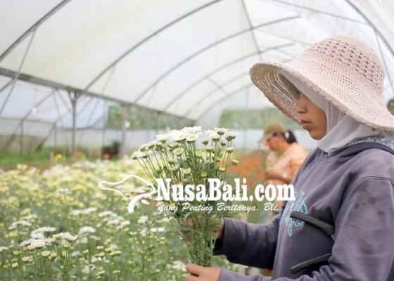 Nusabali.com - petani-floris-kembangkan-snap-dragon