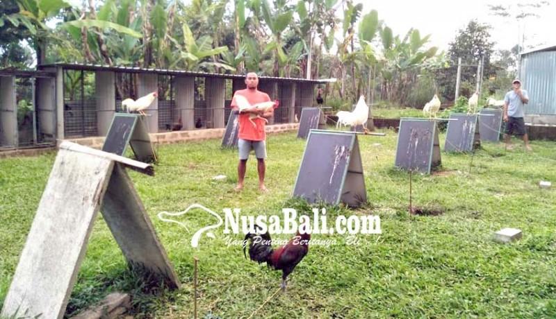 www.nusabali.com-gagal-ternak-babi-beralih-ternak-ayam-petarung