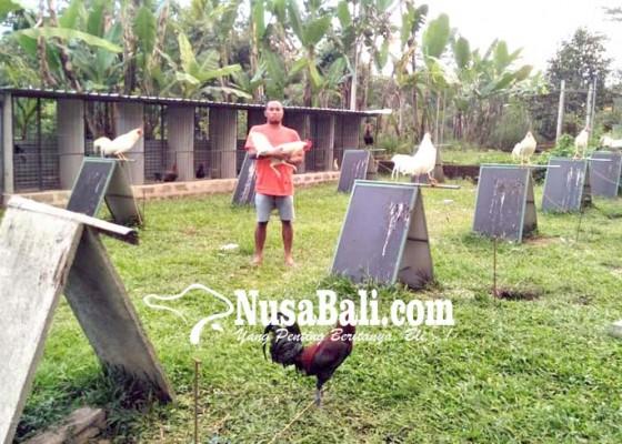 Nusabali.com - gagal-ternak-babi-beralih-ternak-ayam-petarung