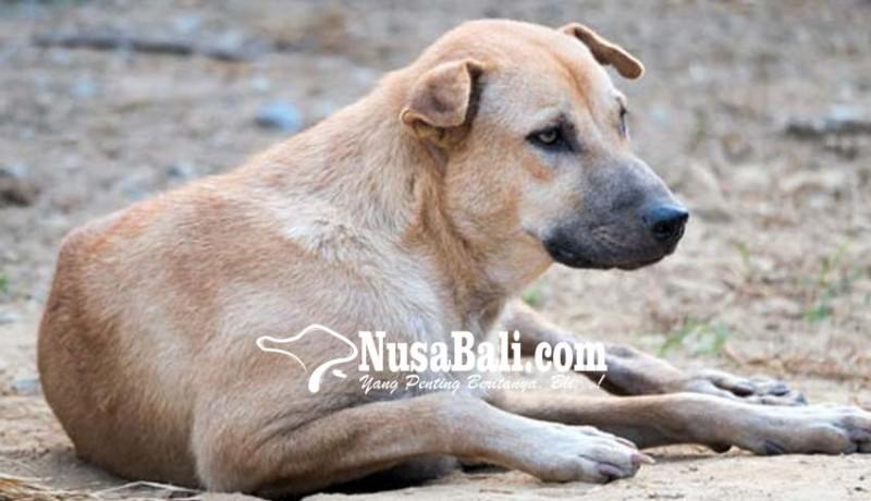 www.nusabali.com-anjing-gudig-berkeliaran-dinas-pertanian-tak-berkutik