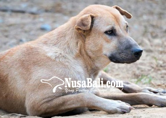 Nusabali.com - anjing-gudig-berkeliaran-dinas-pertanian-tak-berkutik