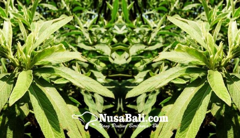 www.nusabali.com-loloh-sembung-mengandung-anti-oksidan-dan-anti-bakteri