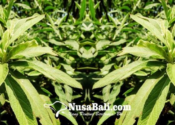 Nusabali.com - loloh-sembung-mengandung-anti-oksidan-dan-anti-bakteri