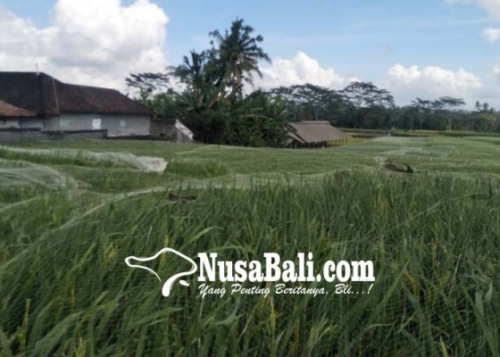 Nusabali.com - halau-serangan-burung-tanaman-padi-ditutup-jaring