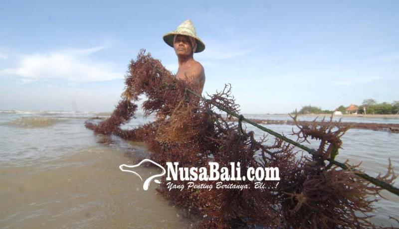 www.nusabali.com-beralih-ke-rumput-laut-sayur