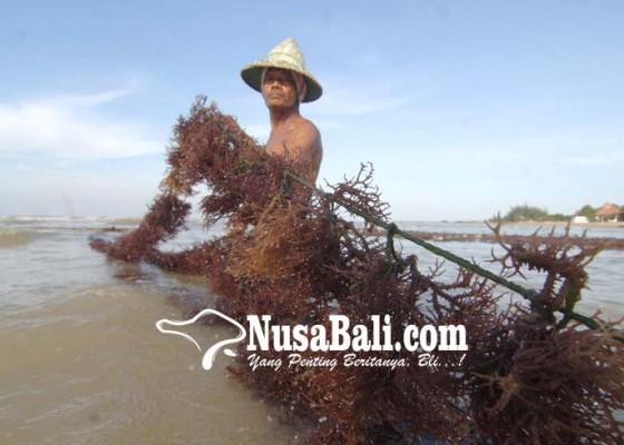 Nusabali.com - beralih-ke-rumput-laut-sayur