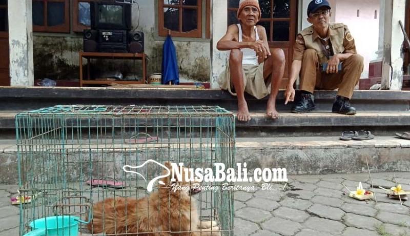www.nusabali.com-anjing-positif-rabies-gigit-13-warga-desa-ketewel