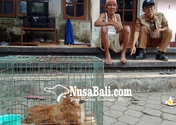 Nusabali.com - anjing-positif-rabies-gigit-13-warga-desa-ketewel