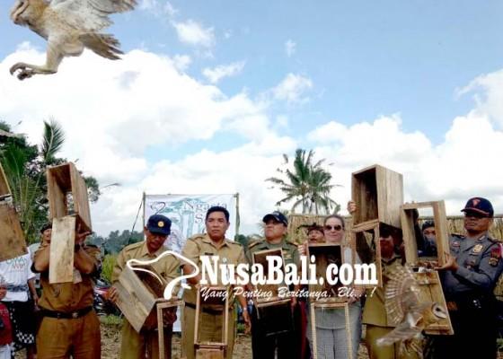 Nusabali.com - belasan-tyto-alba-predator-tikus-kembali-dilepas