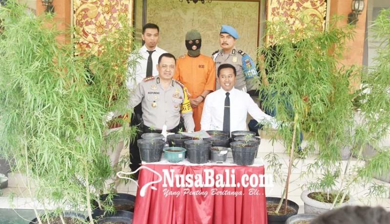 www.nusabali.com-rumah-desainer-digerebek-ditemukan-22-pohon-ganja