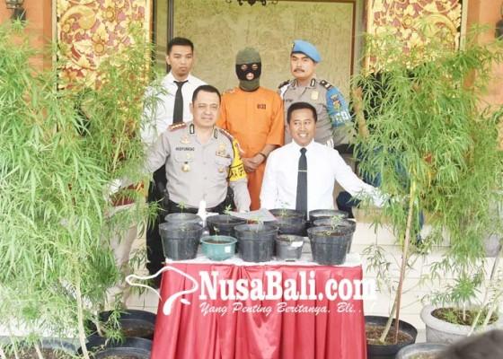 Nusabali.com - rumah-desainer-digerebek-ditemukan-22-pohon-ganja
