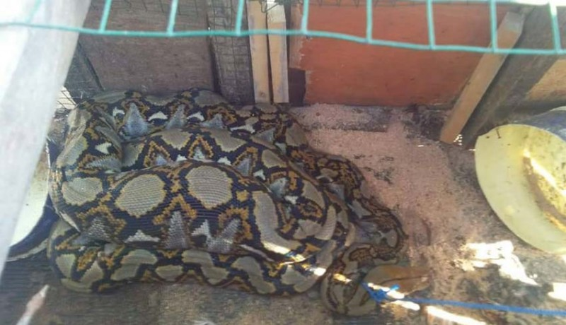 www.nusabali.com-ular-piton-5-meter-hebohkan-anturan
