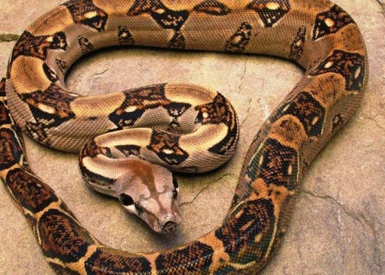 Nusabali.com - pria-di-as-kejatuhan-ular-boa