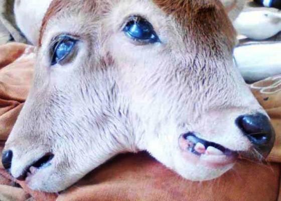 Nusabali.com - heboh-di-riau-bayi-sapi-berkepala-2