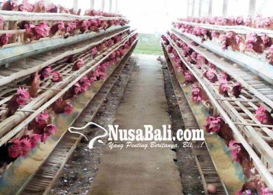Nusabali.com - kesulitan-bibit-peternak-kosongkan-kandang