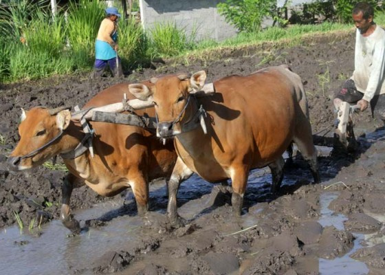 Nusabali.com - bonus-untuk-pemilik-sapi-bunting-ditiadakan