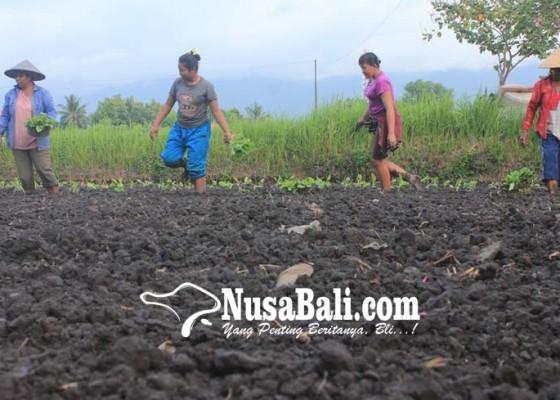 Nusabali.com - tak-ada-bantuan-petani-ngambul