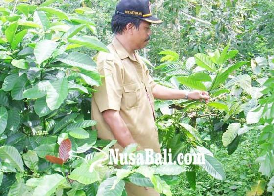 Nusabali.com - kopi-jadi-pengganti-tanaman-semusim-di-wanagiri