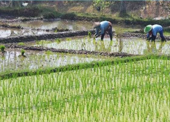 Nusabali.com - dua-subak-tersertifikasi-sebagai-lahan-pertanian-organik