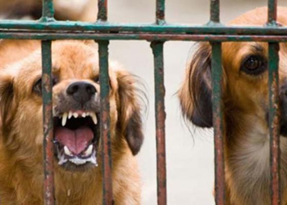 Nusabali.com - puluhan-anjing-liar-dieliminasi
