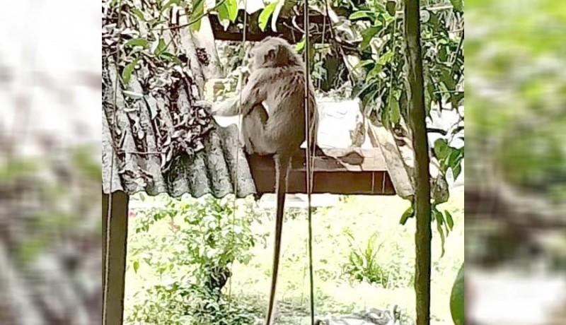 www.nusabali.com-monyet-liar-masuk-perkampungan-di-gulingan-mengwi